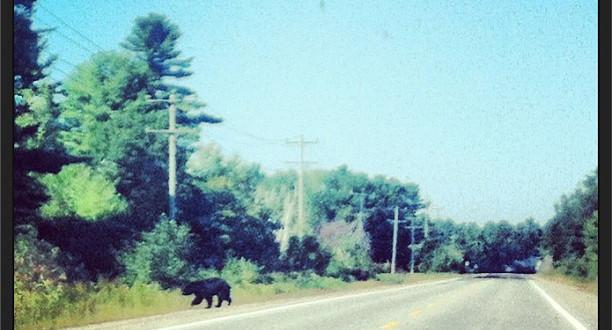 bears in muskoka