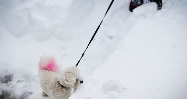 Little dog with a pink tail in the snow 620x330 - My 2013 Colour in Photography Challenge: February Results