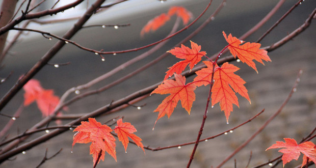 Red maple leaves raindrops Fall 620x330 - Reasons to love the Fall season