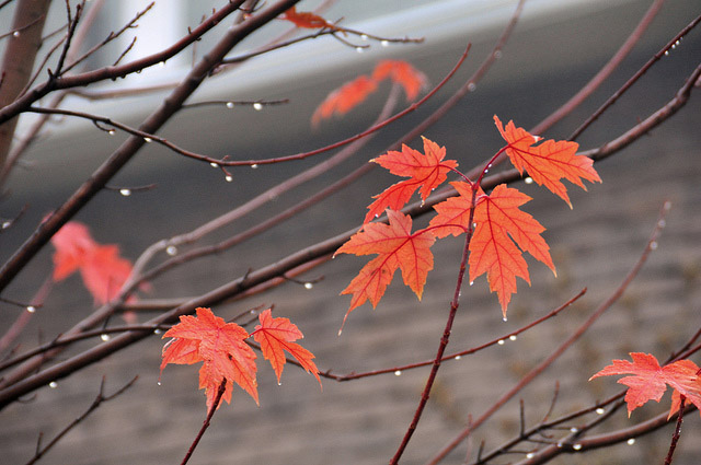 Red maple leaves raindrops Fall - Reasons to love the Fall season